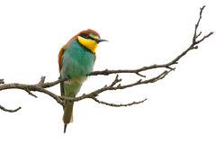 Bee eaters. Rare bee-eaters in unique bird area Velke Pavlovice, Czech republic Stock Photography