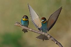 Bee eaters. At Kalloni Salt Pans ,Lesvos stock images