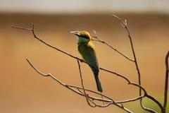 Bird-Bee Eaters-bird back side stock image