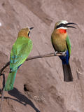Bee-Eaters - Botswana. Two Whitefronted Bee-Eaters (Merops bullockoides) on the riverbank of the Chobe Rive in Botswana Stock Images