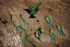 African Bee-Eaters - Botswana Royalty Free Stock Photo