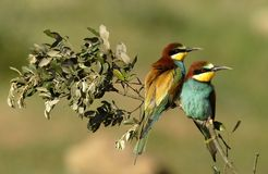 Bee-eaters on branch Stock Photo