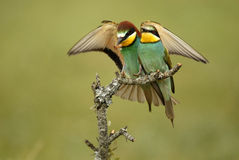 Bee-eaters on a branch Royalty Free Stock Photo