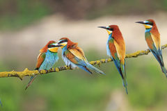 Bee eaters with bright plumage sitting on a branch stock photography