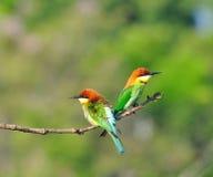 Bee-eaters Castagna-intestati Fotografia Stock Libera da Diritti