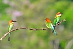 Bee-eaters Castagna-intestati Immagine Stock Libera da Diritti