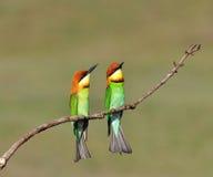 Bee-eaters Castagna-intestati Fotografia Stock