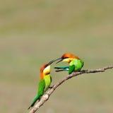 Bee-eaters Châtaigne-dirigés images stock