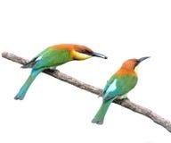 Bee-eaters Châtaigne-dirigés photo libre de droits