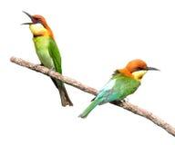 Bee-eaters Châtaigne-dirigés photo stock