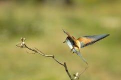 Bee-eaters colorati Immagini Stock Libere da Diritti