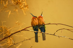 Bee eaters. A couple of bee eaters (Merops bullockoides) sitting next to eachother on a tree branch Royalty Free Stock Photos