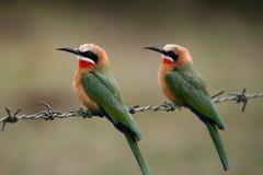 Bee-eaters de pecho blanco Fotografía de archivo libre de regalías