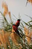 Bee-eaters del carmín Imagen de archivo libre de regalías
