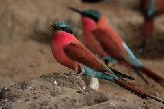Bee-eaters del carminio Immagine Stock