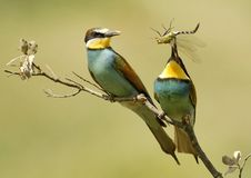Bee eaters eating a dragonfly Royalty Free Stock Photos