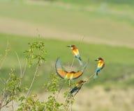 Bee-eaters europeos Fotos de archivo libres de regalías