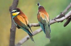 Bee-eaters europeos en la ramificación Imagen de archivo