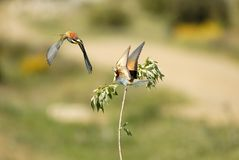 Bee-eaters flying Royalty Free Stock Photos