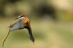 Bee-eaters flying Stock Images