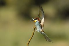 A Bee-eaters flying Stock Photo