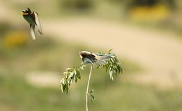 Bee-eaters flying in the field Royalty Free Stock Image