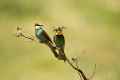 Bee-eaters with food Stock Image