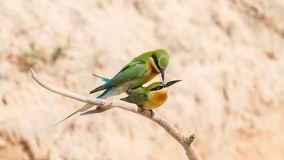 Bee-eaters In Love Royalty Free Stock Photos