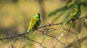 Bee Eaters, looking at the sky Royalty Free Stock Photography