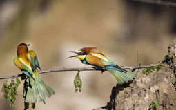 Bee-eaters Royalty Free Stock Images