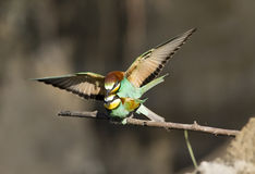 Bee-eaters mating Stock Images