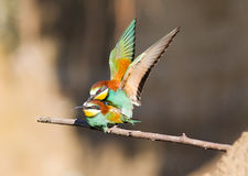Bee-eaters mating Royalty Free Stock Photo