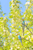 Bee-eaters (Merops Apiaster) Stock Photography