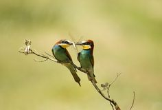 Bee-eaters mit Nahrung in Ihrem Hauptrechner lizenzfreies stockbild