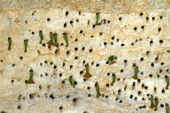 Bee-eaters nesting in a cliff. Bee-eaters nesting in holes made in a cliff side along the River Nile in Uganda royalty free stock photos