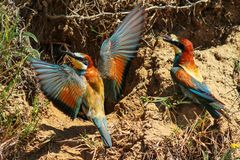 Bee eaters Royalty Free Stock Photos