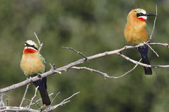 Bee-Eaters - Okavango Delta - Botswana. Whitefronted Bee-Eaters in the Okavango Delta in Botswana Stock Images