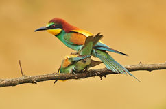 Bee eaters Royalty Free Stock Image