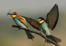 Bee-eaters. The picture was taken in Hungary Stock Photo