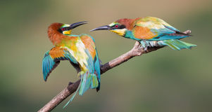 Bee eaters Royalty Free Stock Images