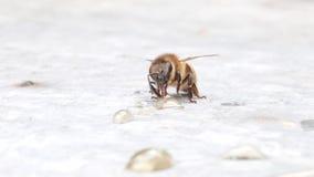 Bee eating a drop of honey. Bee gathering honey with proboscis. Apis mellifera. Close-up stock footage