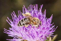 Bee eating on the flower Stock Image