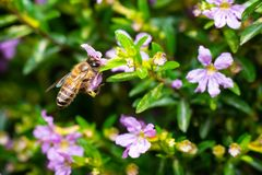 Bee eating pollen royalty free stock image