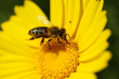 Bee eating pollen Stock Photo