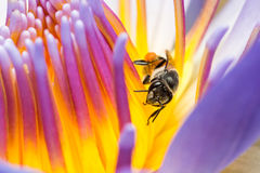 Bee Eating Syrup in the Lotus Flower. In the garden Royalty Free Stock Images