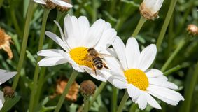 Bee eating and workin for spring time on flower. Marguerite royalty free stock image