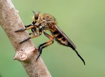 Bee eats insect Stock Photo