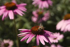 Bee on Echinacea Royalty Free Stock Images