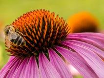 Bee on echinacea Stock Image