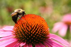 Bee on Echinacea Flower Stock Images